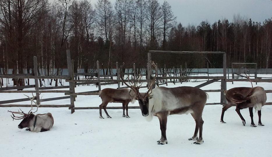Ферма оленей в Анцифриево